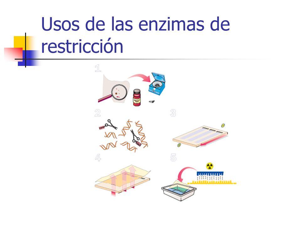 Usos de las enzimas de restricción