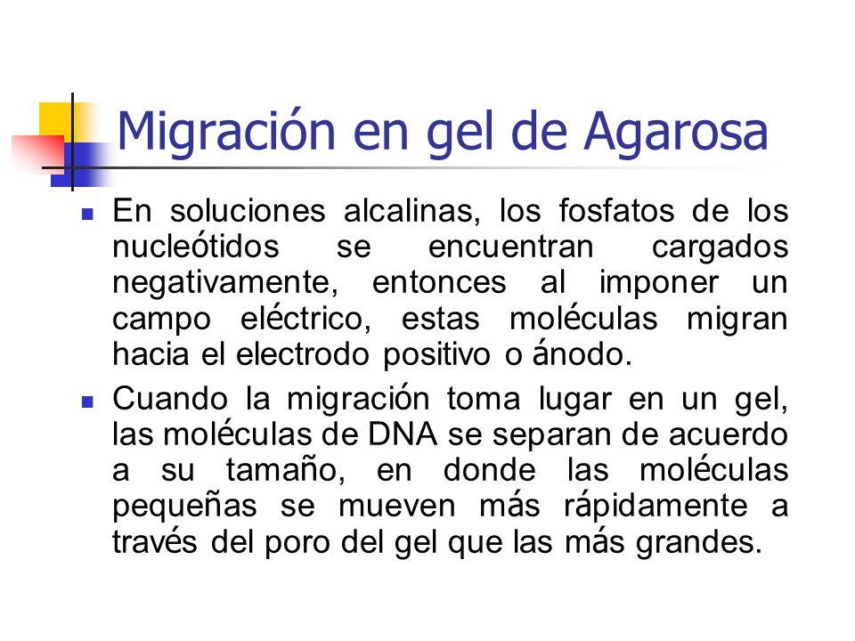 Migración en gel de Agarosa En soluciones alcalinas, los fosfatos de los nucle ó tidos se encuentran cargados negativamente, entonces al imponer un campo el é ctrico, estas mol é culas migran hacia el electrodo positivo o á nodo.