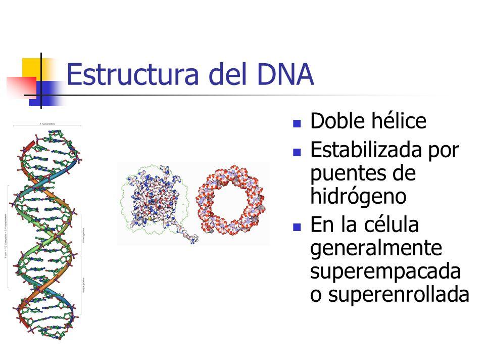 Estructura del DNA Doble hélice Estabilizada por puentes de hidrógeno En la célula generalmente superempacada o superenrollada