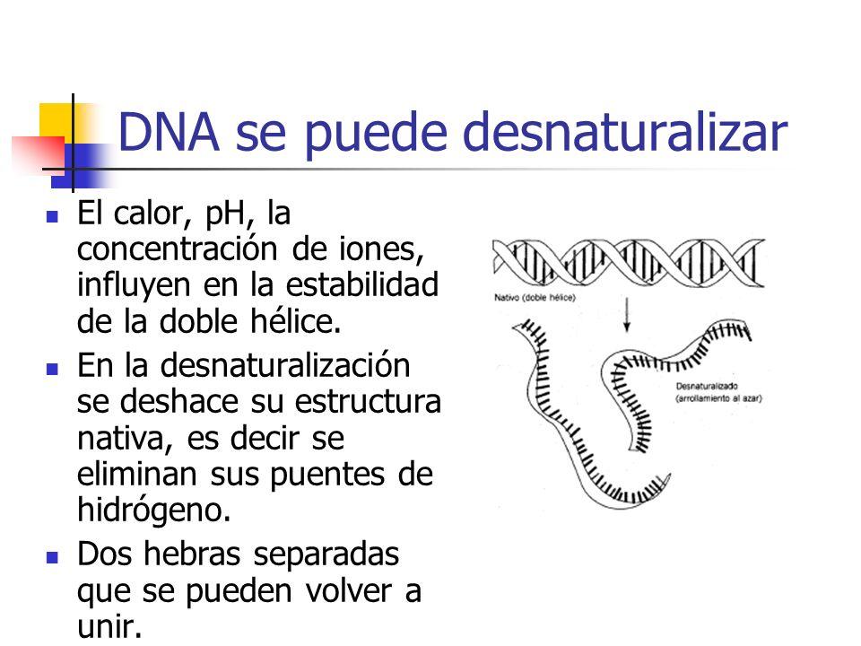 DNA se puede desnaturalizar El calor, pH, la concentración de iones, influyen en la estabilidad de la doble hélice. En la desnaturalización se deshace