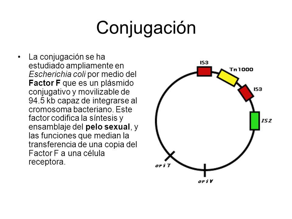 Conjugación La conjugación se ha estudiado ampliamente en Escherichia coli por medio del Factor F que es un plásmido conjugativo y movilizable de 94.5