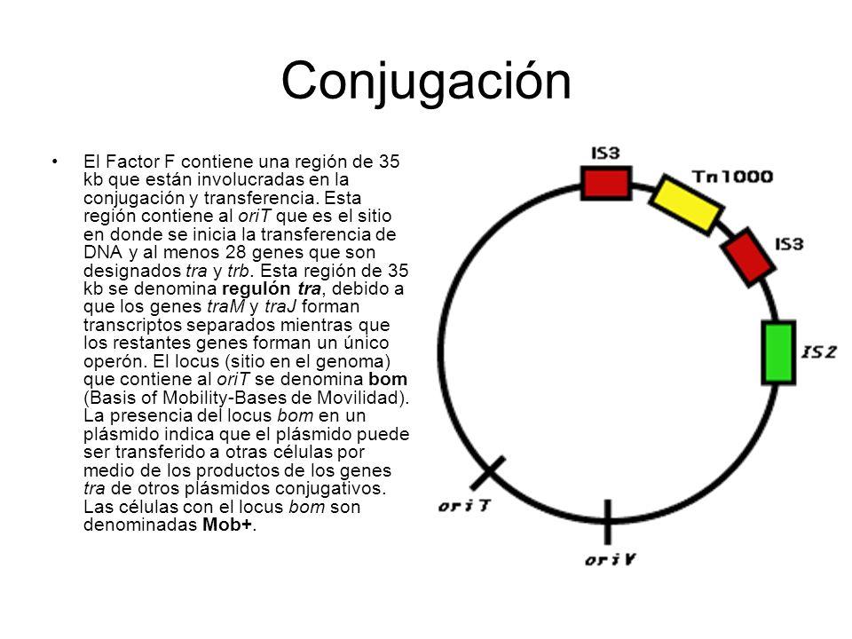 Conjugación El Factor F contiene una región de 35 kb que están involucradas en la conjugación y transferencia. Esta región contiene al oriT que es el