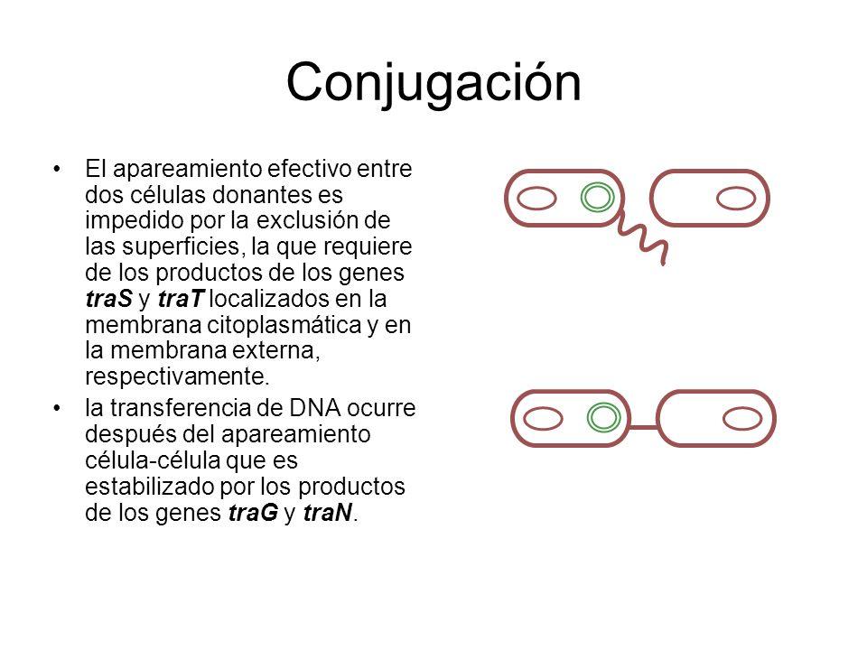 Conjugación El apareamiento efectivo entre dos células donantes es impedido por la exclusión de las superficies, la que requiere de los productos de l