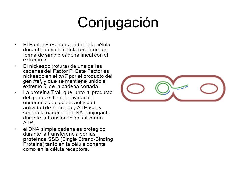 Conjugación El Factor F es transferido de la célula donante hacia la célula receptora en forma de simple cadena lineal con el extremo 5'. El nickeado