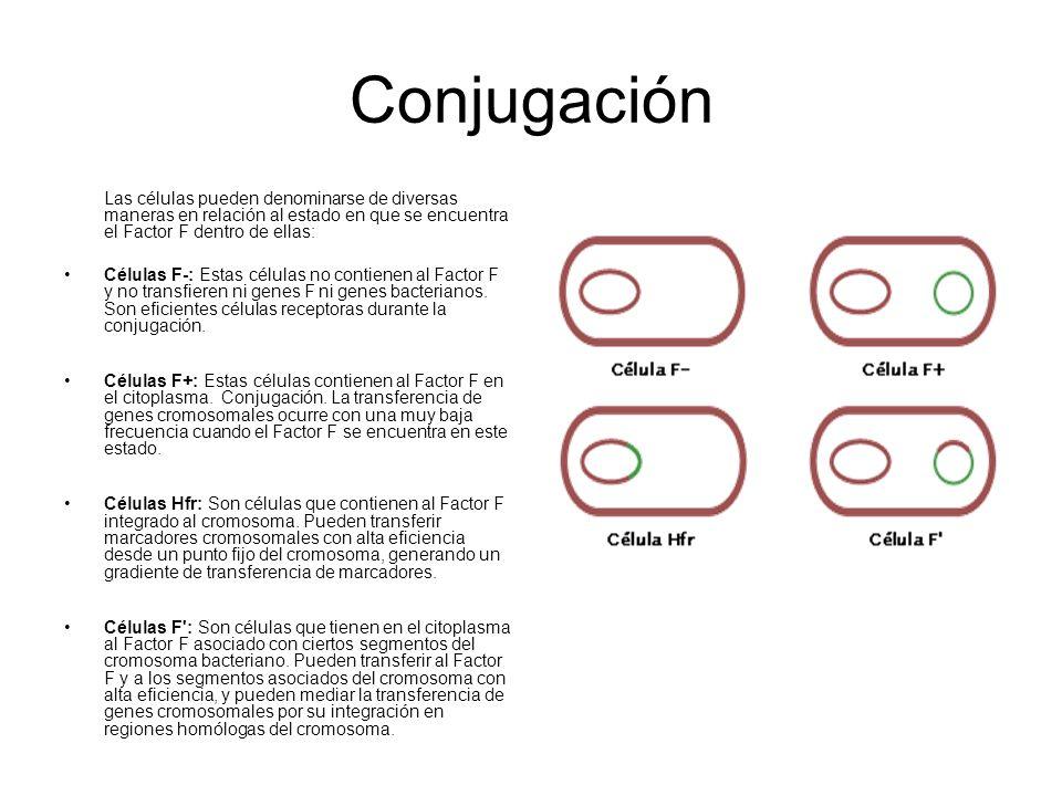 Conjugación Las células pueden denominarse de diversas maneras en relación al estado en que se encuentra el Factor F dentro de ellas: Células F-: Esta