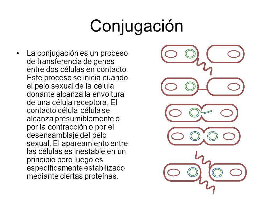 Conjugación La conjugación es un proceso de transferencia de genes entre dos células en contacto. Este proceso se inicia cuando el pelo sexual de la c