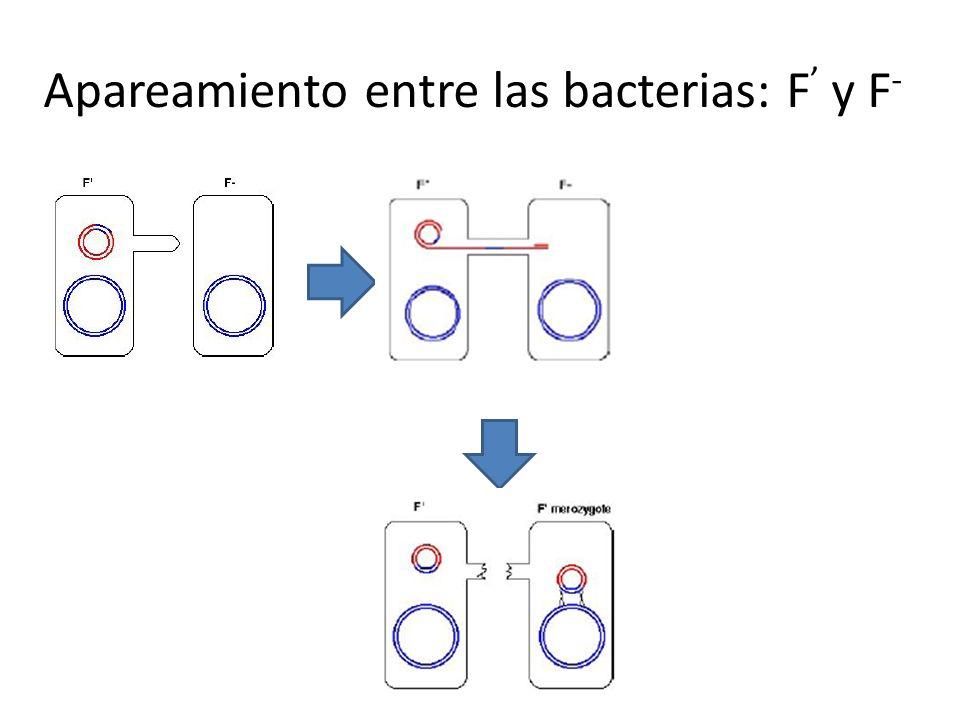Apareamiento entre las bacterias: F y F -