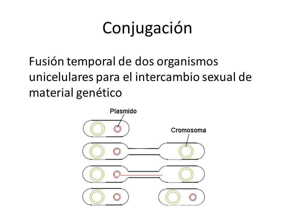 Conjugación Fusión temporal de dos organismos unicelulares para el intercambio sexual de material genético
