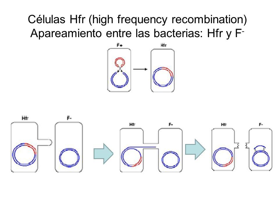 Células Hfr (high frequency recombination) Apareamiento entre las bacterias: Hfr y F -