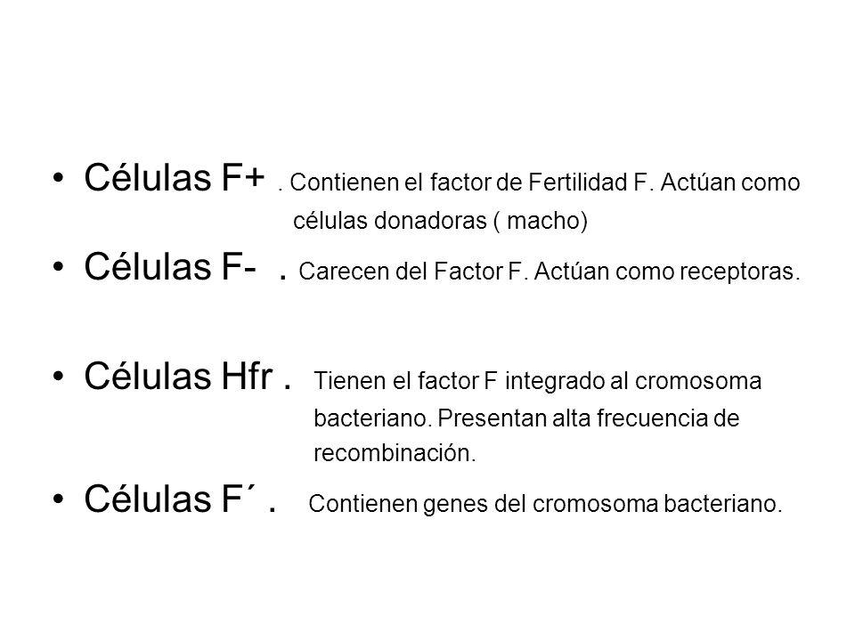 Células F+. Contienen el factor de Fertilidad F. Actúan como células donadoras ( macho) Células F-. Carecen del Factor F. Actúan como receptoras. Célu
