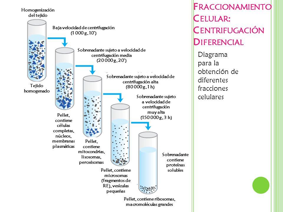 F RACCIONAMIENTO C ELULAR : C ENTRIFUGACIÓN D IFERENCIAL Diagrama para la obtención de diferentes fracciones celulares Homogenización del tejido Baja