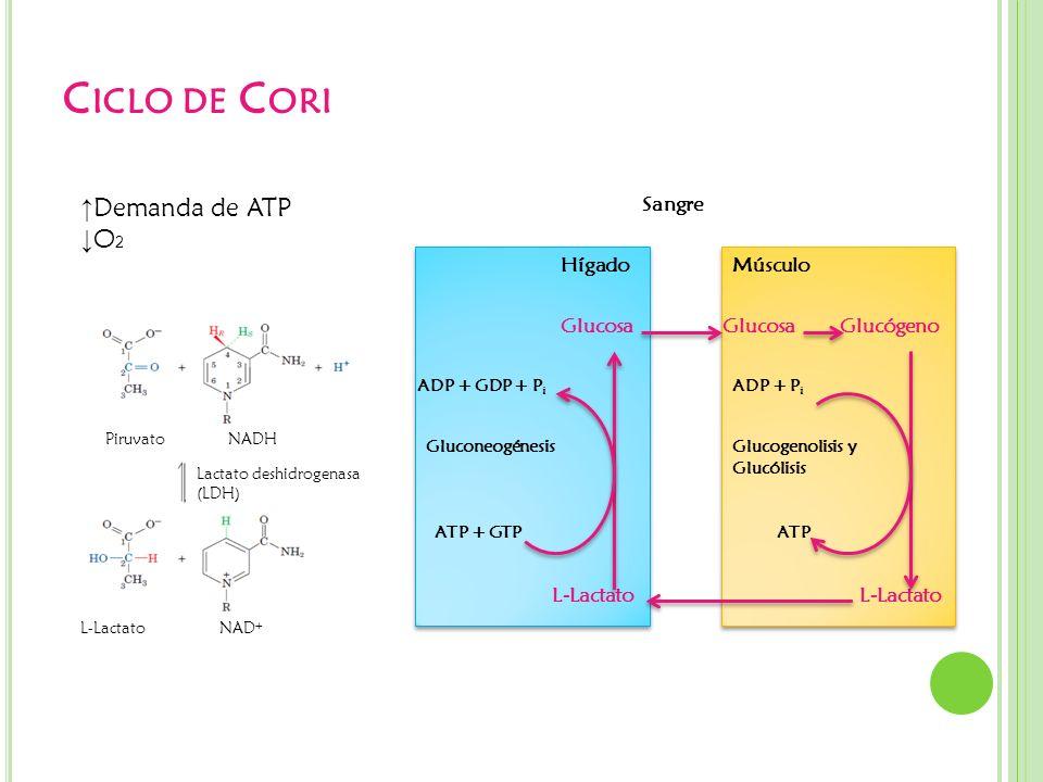 C ICLO DE C ORI Demanda de ATP O 2 PiruvatoNADH Lactato deshidrogenasa (LDH) L-LactatoNAD + Hígado Sangre Músculo Glucosa Glucógeno L-Lactato ATP + GT