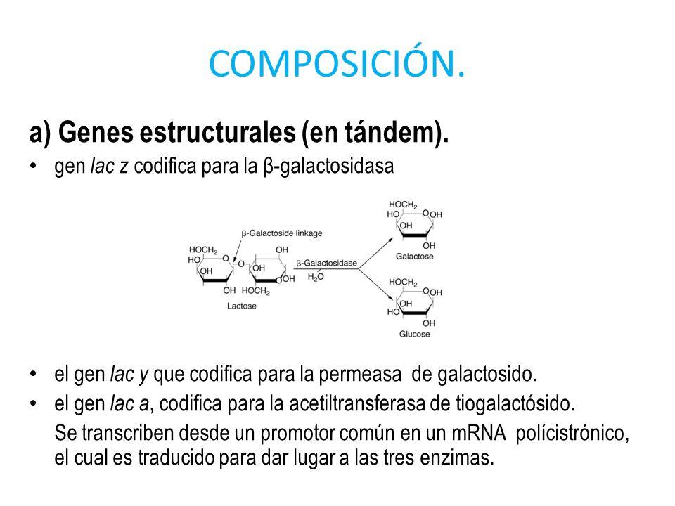 COMPOSICIÓN. a) Genes estructurales (en tándem). gen lac z codifica para la β-galactosidasa el gen lac y que codifica para la permeasa de galactosido.