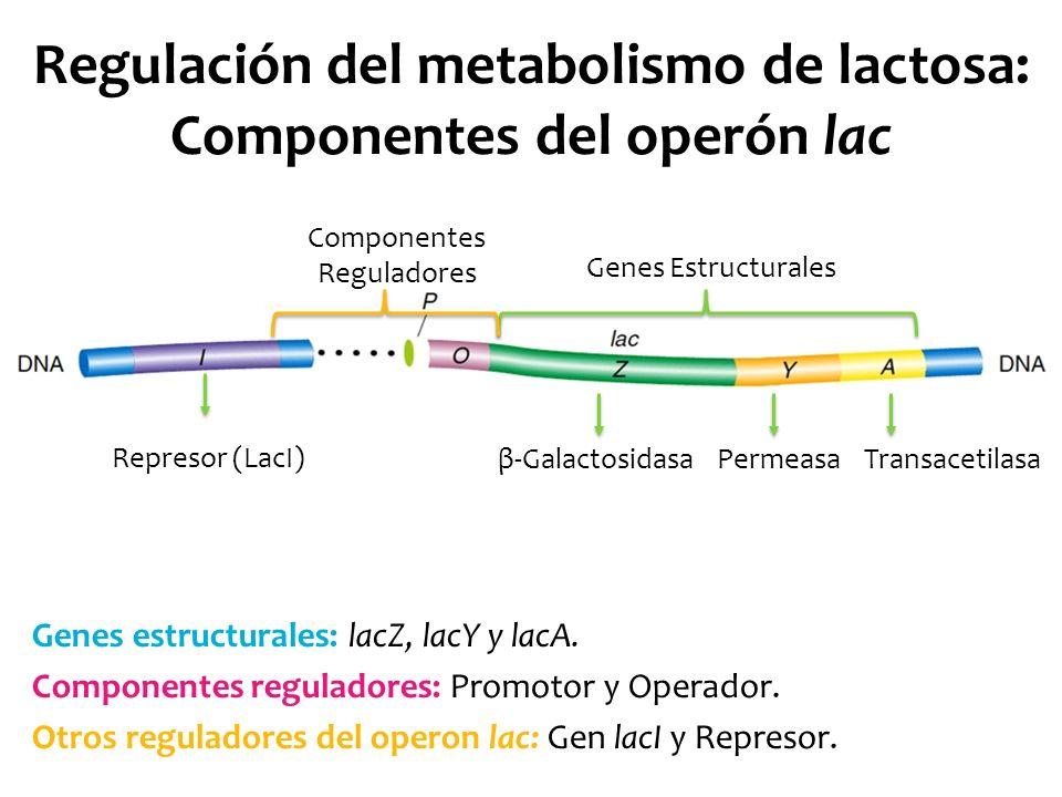 Regulación del metabolismo de lactosa: Componentes del operón lac Genes estructurales: lacZ, lacY y lacA. Componentes reguladores: Promotor y Operador