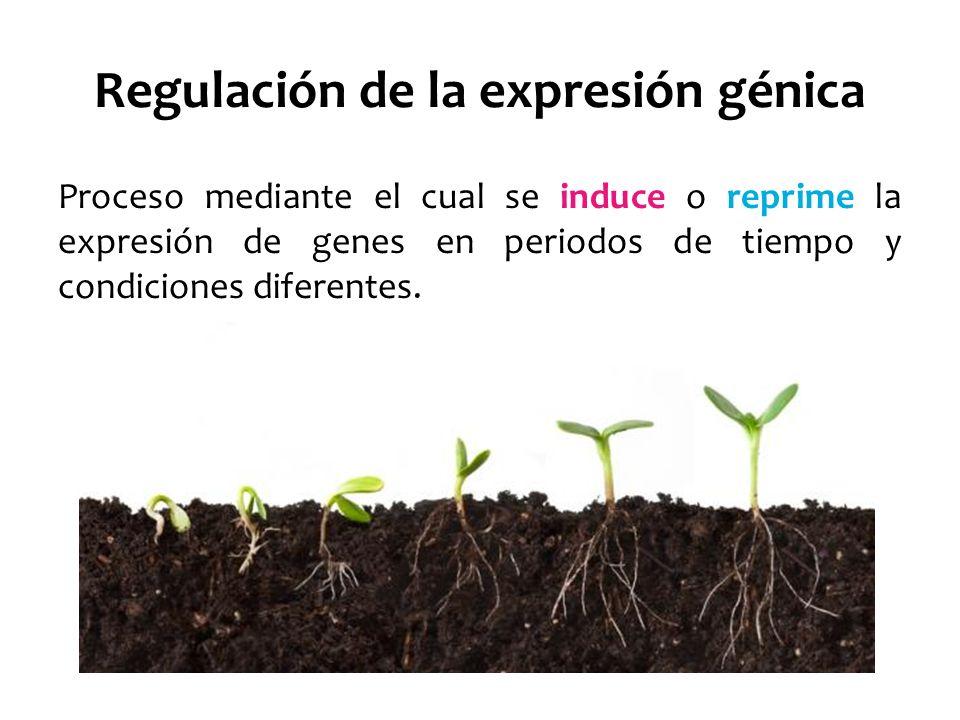 Regulación de la expresión génica Expresión Génica Genes constitutivos: Se expresan a un nivel constante.