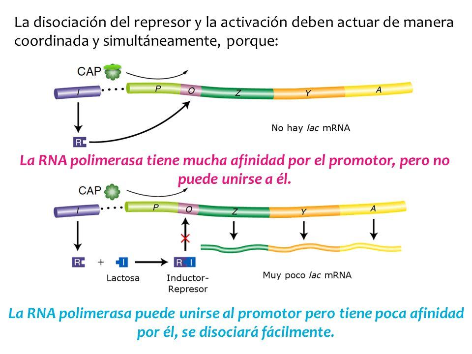 La disociación del represor y la activación deben actuar de manera coordinada y simultáneamente, porque: La RNA polimerasa tiene mucha afinidad por el
