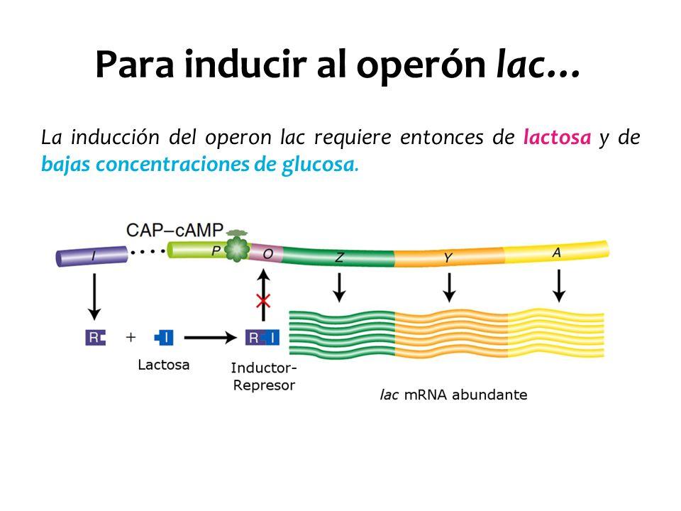 Para inducir al operón lac… La inducción del operon lac requiere entonces de lactosa y de bajas concentraciones de glucosa.