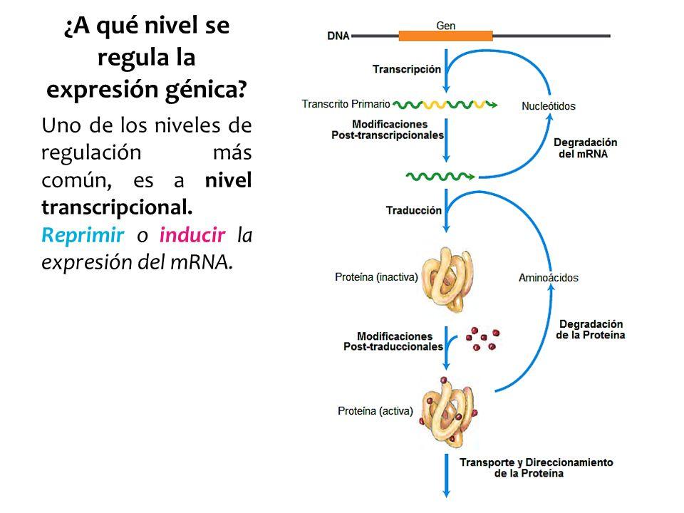 ¿A qué nivel se regula la expresión génica? Uno de los niveles de regulación más común, es a nivel transcripcional. Reprimir o inducir la expresión de