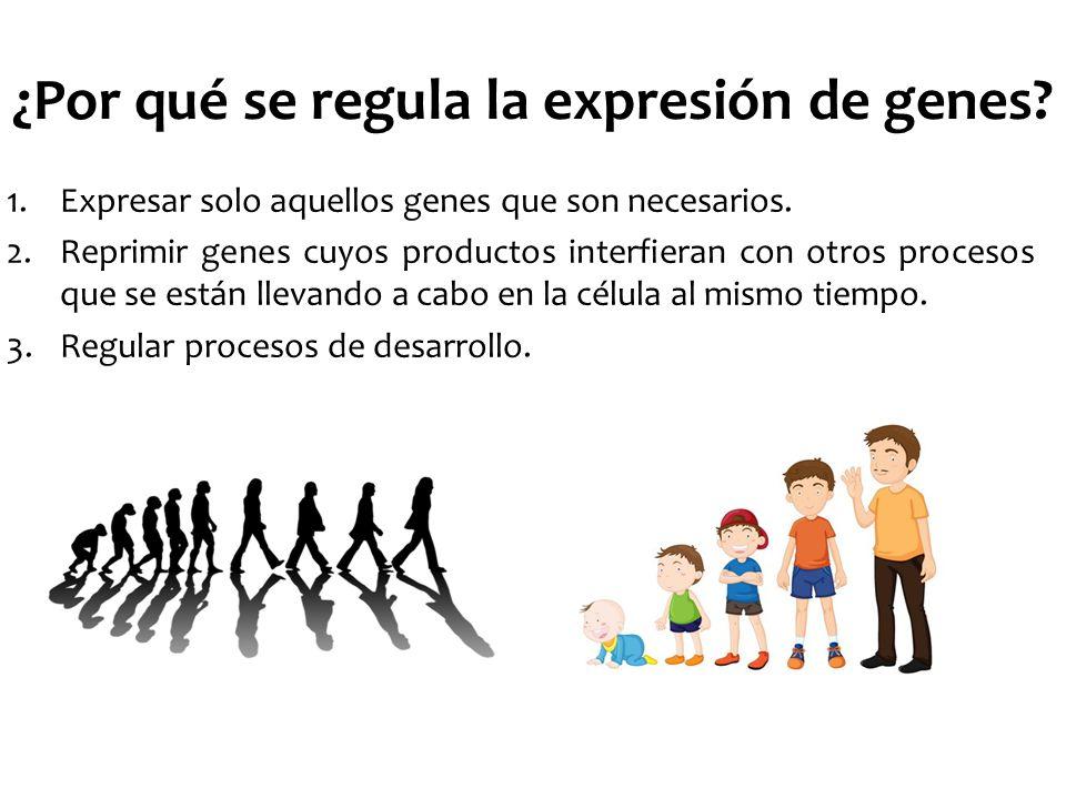 ¿Por qué se regula la expresión de genes? 1.Expresar solo aquellos genes que son necesarios. 2.Reprimir genes cuyos productos interfieran con otros pr