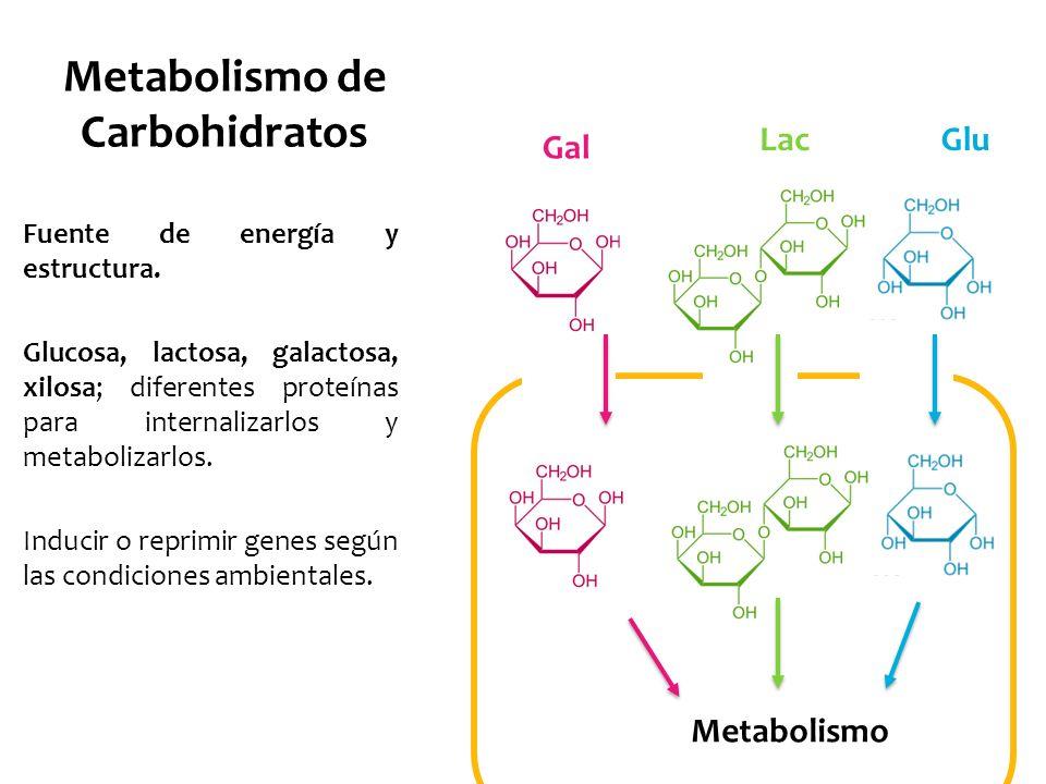 Metabolismo de Carbohidratos Fuente de energía y estructura. Glucosa, lactosa, galactosa, xilosa; diferentes proteínas para internalizarlos y metaboli