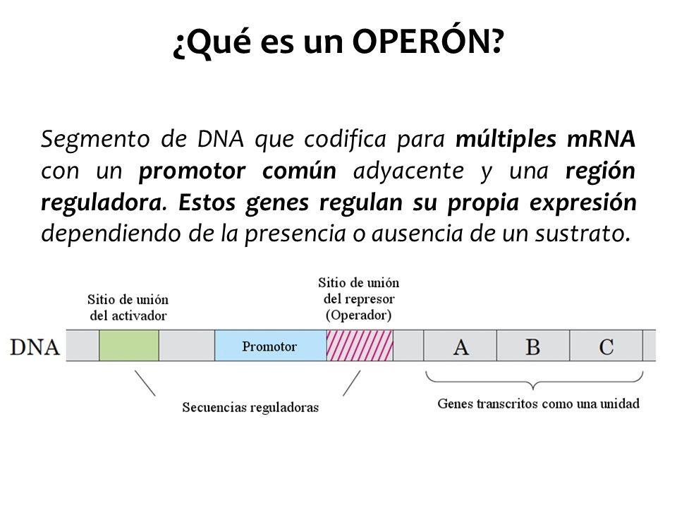 ¿Qué es un OPERÓN? Segmento de DNA que codifica para múltiples mRNA con un promotor común adyacente y una región reguladora. Estos genes regulan su pr