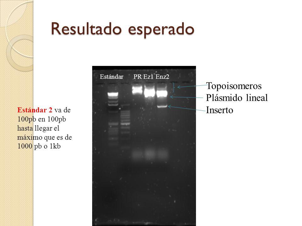Resultado esperado Estándar PR Ez1 Enz2 Topoisomeros Plásmido lineal Inserto Estándar 2 va de 100pb en 100pb hasta llegar el máximo que es de 1000 pb o 1kb