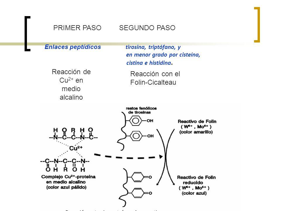 PRIMER PASO SEGUNDO PASO Reacción de Cu 2+ en medio alcalino Reacción con el Folin-Cicalteau Enlaces peptídicos tirosina, triptófano, y en menor grado