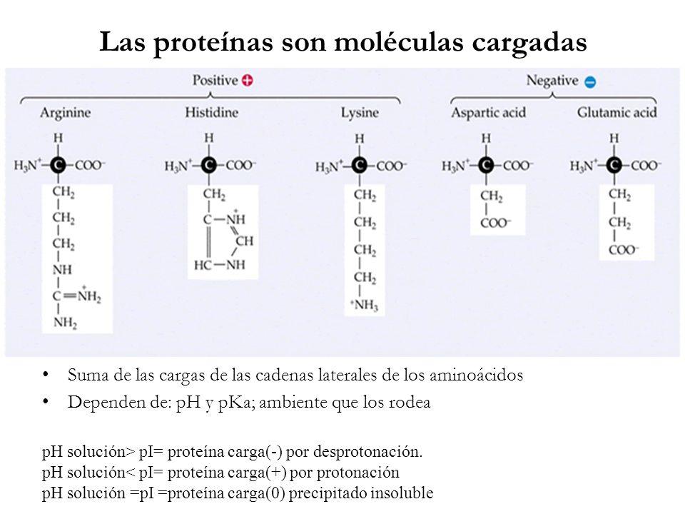 Las proteínas son moléculas cargadas De Suma de las cargas de las cadenas laterales de los aminoácidos Dependen de: pH y pKa; ambiente que los rodea p