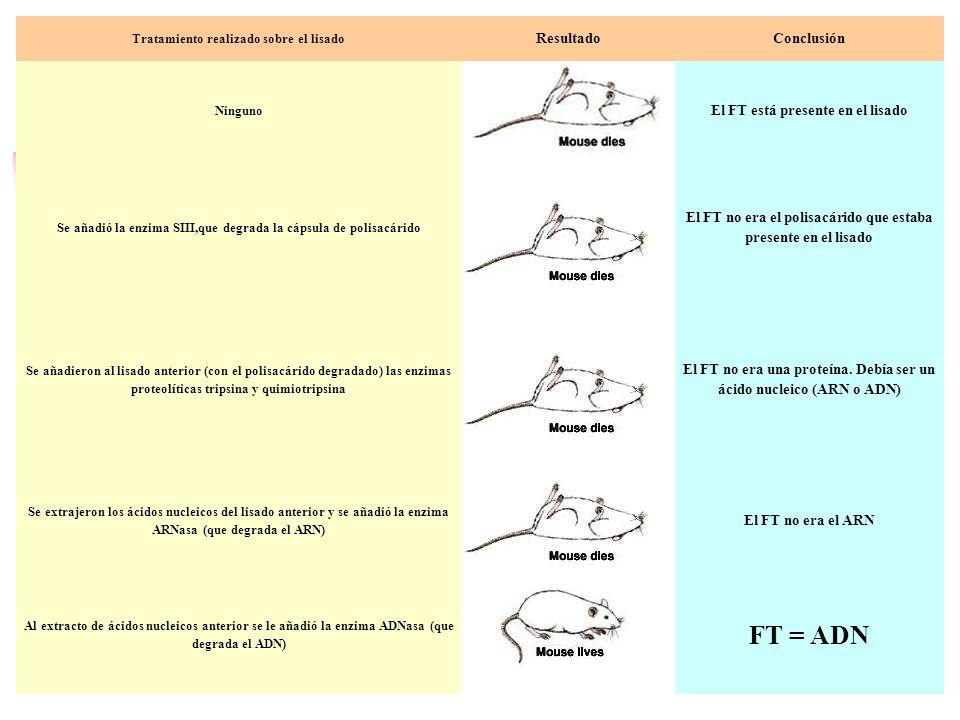 Tratamiento realizado sobre el lisado ResultadoConclusión Ninguno El FT está presente en el lisado Se añadió la enzima SIII,que degrada la cápsula de