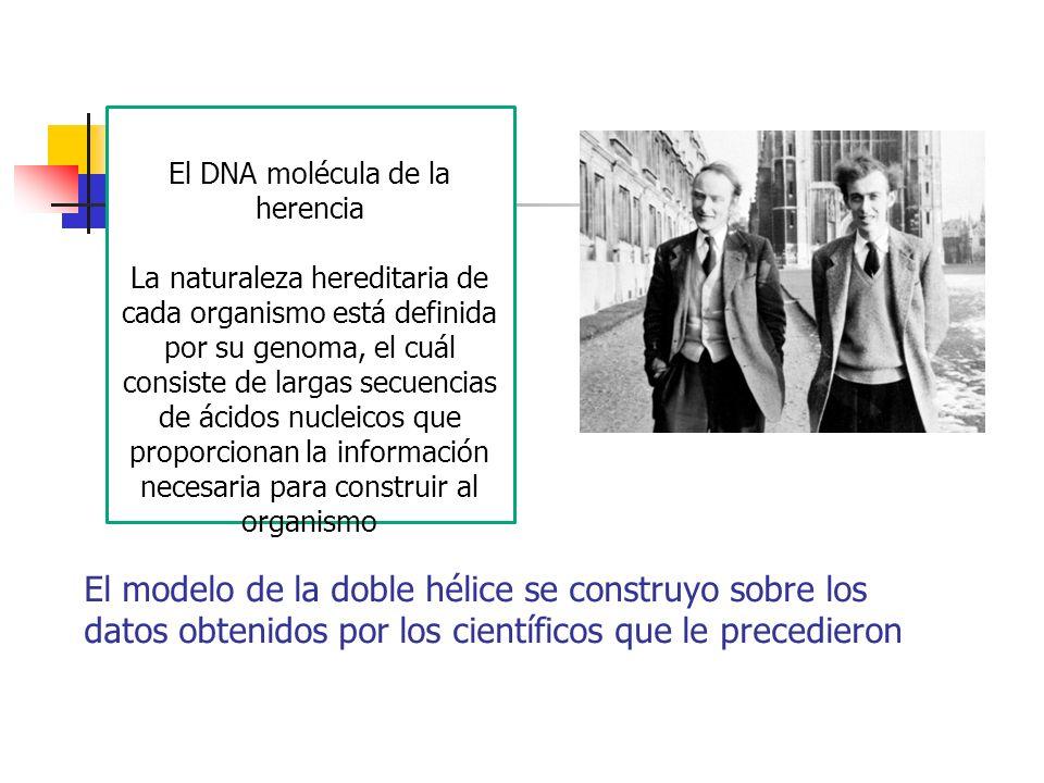El modelo de la doble hélice se construyo sobre los datos obtenidos por los científicos que le precedieron El DNA molécula de la herencia La naturalez