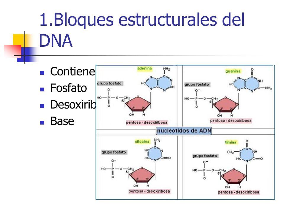 1.Bloques estructurales del DNA Contienen tres tipos de componentes: Fosfato Desoxiribosa Base