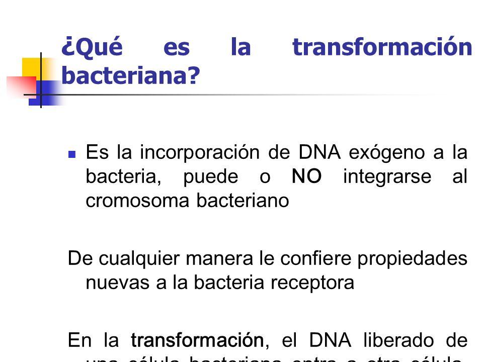¿ Qué es la transformación bacteriana? Es la incorporación de DNA exógeno a la bacteria, puede o NO integrarse al cromosoma bacteriano De cualquier ma