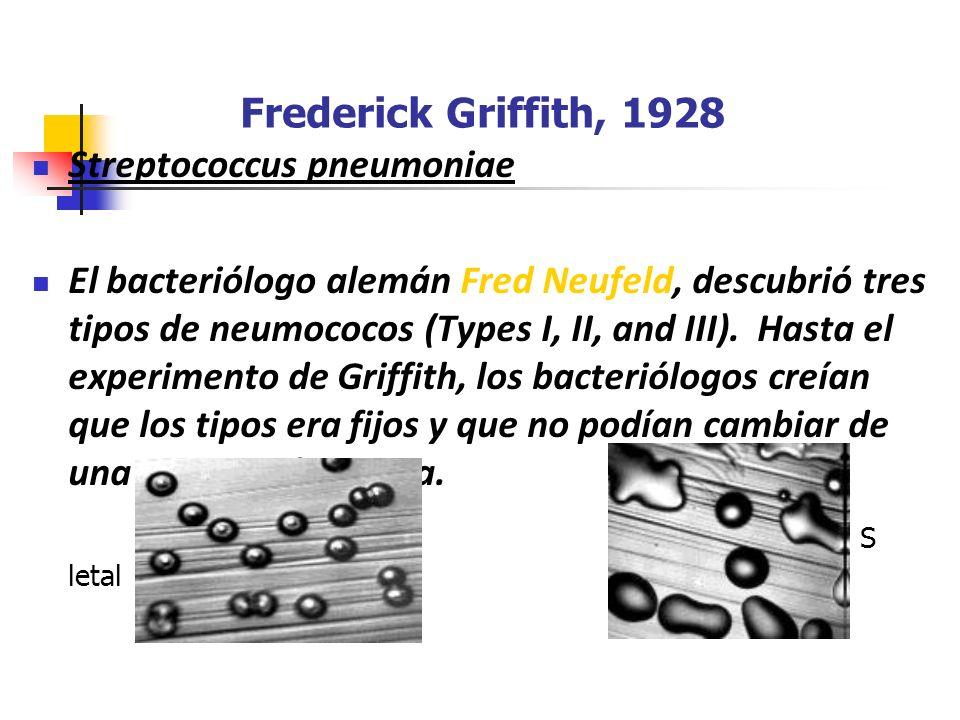 Frederick Griffith, 1928 Streptococcus pneumoniae El bacteriólogo alemán Fred Neufeld, descubrió tres tipos de neumococos (Types I, II, and III). Hast