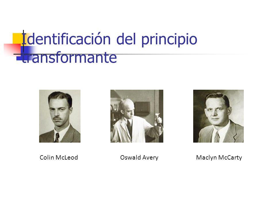 Identificación del principio transformante Colin McLeodOswald AveryMaclyn McCarty