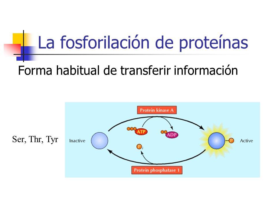 La fosforilación de proteínas Forma habitual de transferir información Ser, Thr, Tyr