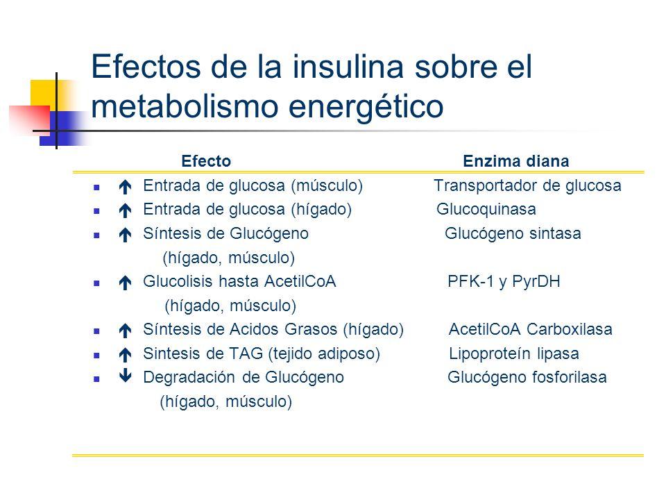 Efectos de la insulina sobre el metabolismo energético Efecto Enzima diana Entrada de glucosa (músculo) Transportador de glucosa Entrada de glucosa (h