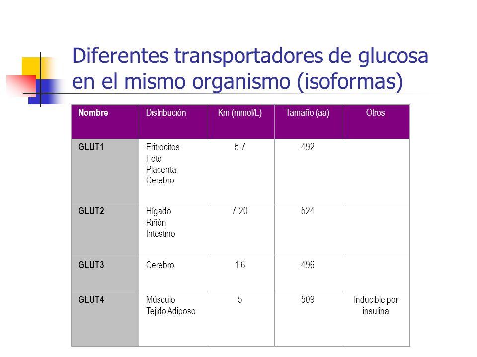 Diferentes transportadores de glucosa en el mismo organismo (isoformas) Nombre DistribuciónKm (mmol/L)Tamaño (aa)Otros GLUT1 Eritrocitos Feto Placenta