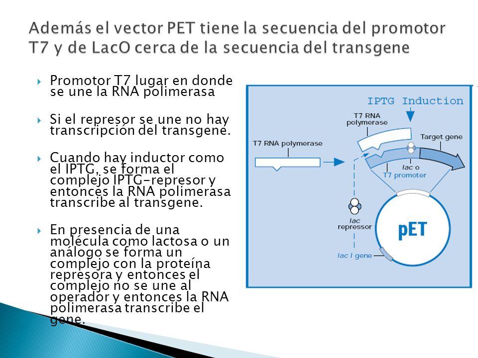Promotor T7 lugar en donde se une la RNA polimerasa Si el represor se une no hay transcripción del transgene. Cuando hay inductor como el IPTG, se for