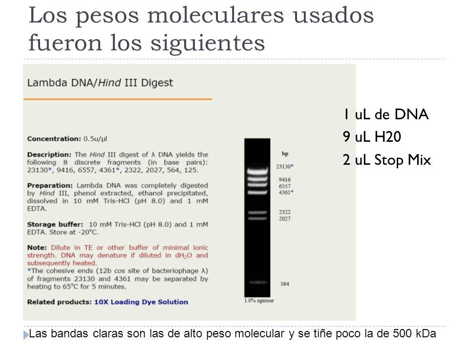 Los pesos moleculares usados fueron los siguientes Las bandas claras son las de alto peso molecular y se tiñe poco la de 500 kDa 1 uL de DNA 9 uL H20 2 uL Stop Mix