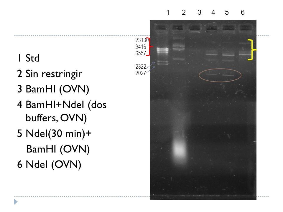 1 Std 2 Sin restringir 3 BamHI (OVN) 4 BamHI+NdeI (dos buffers, OVN) 5 NdeI(30 min)+ BamHI (OVN) 6 NdeI (OVN) 1 2 3 4 5 6 23130 9416 6557 2322 2027