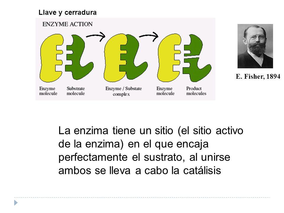 E. Fisher, 1894 Llave y cerradura La enzima tiene un sitio (el sitio activo de la enzima) en el que encaja perfectamente el sustrato, al unirse ambos