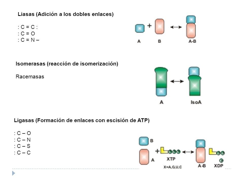 Liasas (Adición a los dobles enlaces) : C = C : : C = O : C = N – Isomerasas (reacción de isomerización) Racemasas Ligasas (Formación de enlaces con e