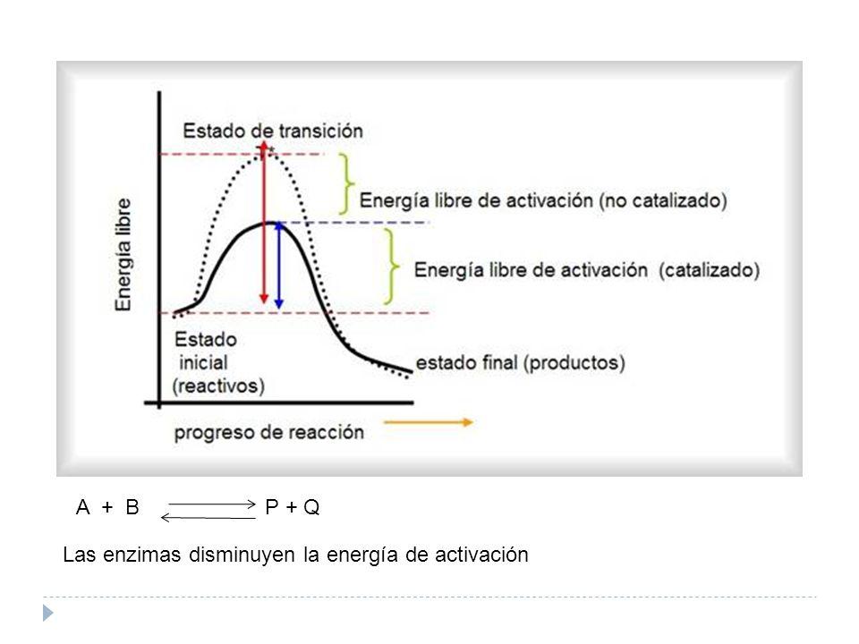 Las enzimas disminuyen la energía de activación A + B P + Q