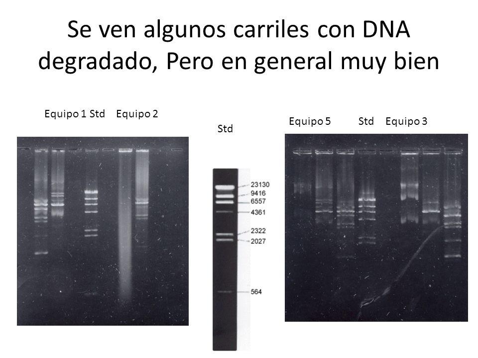 Se ven algunos carriles con DNA degradado, Pero en general muy bien Equipo 1 Std Equipo 2 Equipo 5 Std Equipo 3 Std