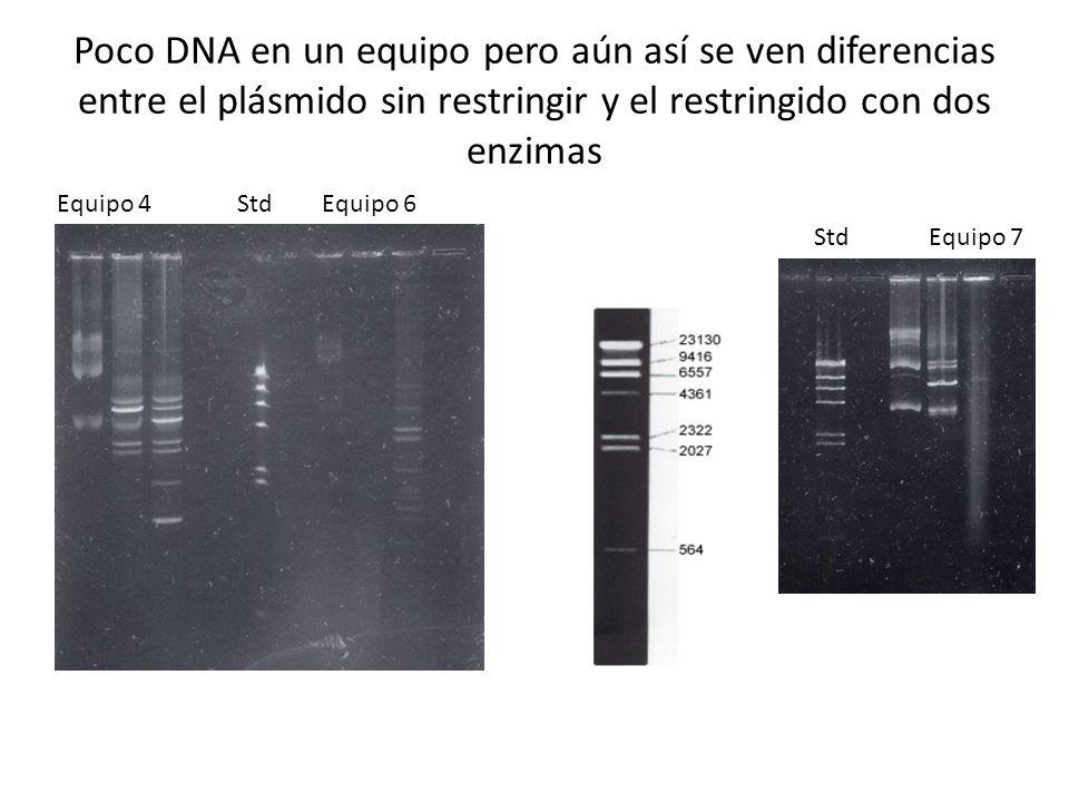 Poco DNA en un equipo pero aún así se ven diferencias entre el plásmido sin restringir y el restringido con dos enzimas Equipo 4 Std Equipo 6 Std Equi