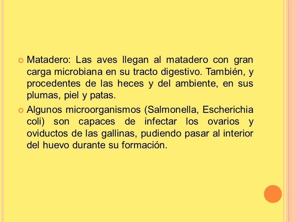 Matadero: Las aves llegan al matadero con gran carga microbiana en su tracto digestivo. También, y procedentes de las heces y del ambiente, en sus plu
