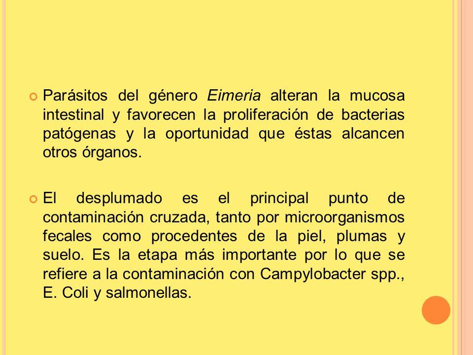 Parásitos del género Eimeria alteran la mucosa intestinal y favorecen la proliferación de bacterias patógenas y la oportunidad que éstas alcancen otro