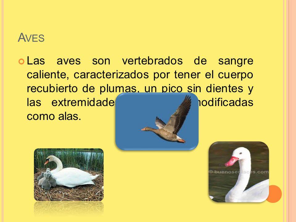 A VES Las aves son vertebrados de sangre caliente, caracterizados por tener el cuerpo recubierto de plumas, un pico sin dientes y las extremidades ant