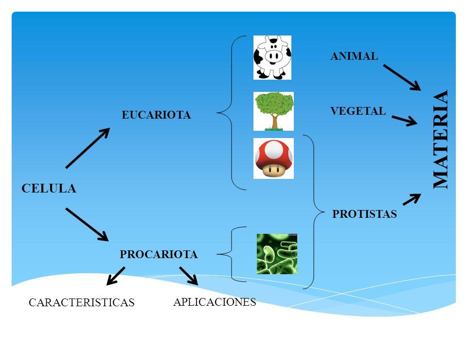 CELULA PROCARIOTA EUCARIOTA CARACTERISTICAS APLICACIONES PROTISTAS VEGETAL ANIMAL MATERIA