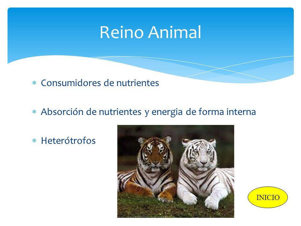 Reino Animal Consumidores de nutrientes Absorción de nutrientes y energia de forma interna Heterótrofos INICIO